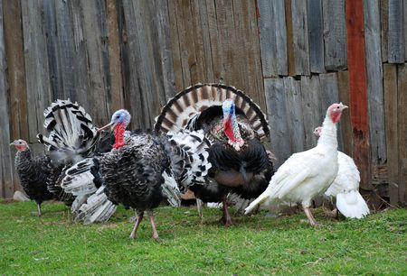 barnyard: Turkeys in farm Stock Photo