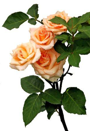 Rose bush on white background photo
