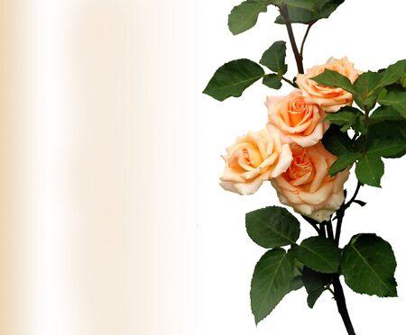 Rosebush, design element - greeting-card photo