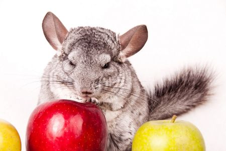 Chinchilla and red apple photo