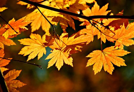 Yellow maple, autumnal ornament photo