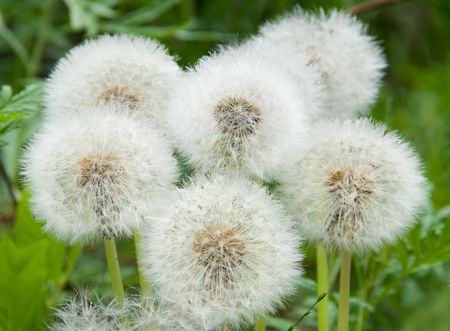 Dandelions, dandelion meadow, white flowers in green grass