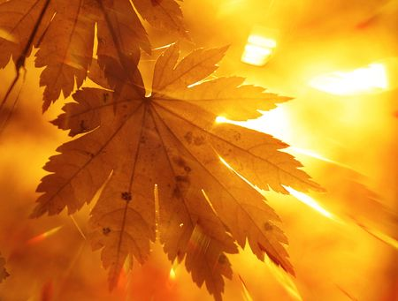 Rainbow rays, yellow maple leaf photo