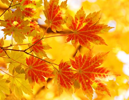 changing color: Yellow maple, autumn