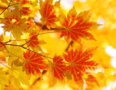 changing seasons: Yellow maple, autumn