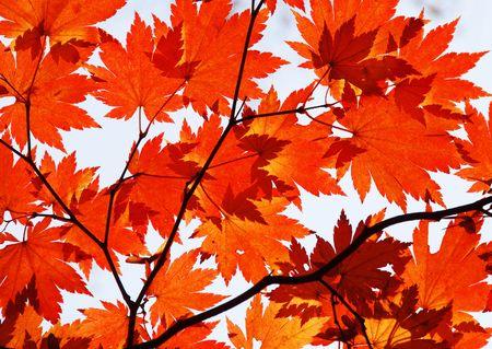 Autumn, red maple foliage Stock Photo - 7645176