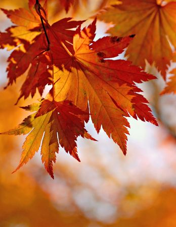 Autumnal maple leaves in blurred background photo