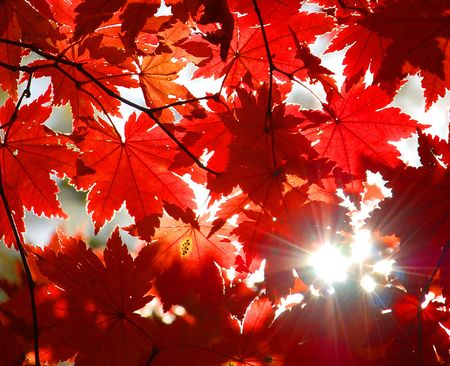 red maples: Autumnal ornament, red leaves of maple