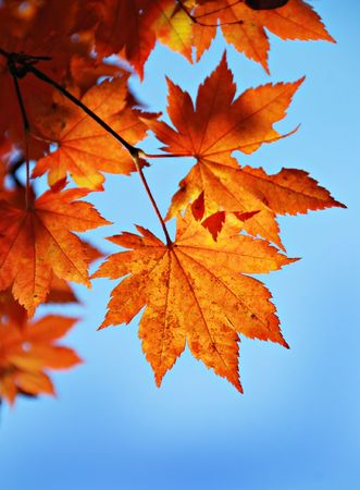changing color: Maple foliage against sky, autumn Stock Photo
