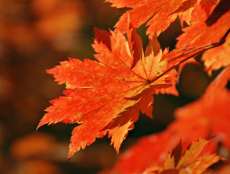 red maple leaf: Red maple leaf, autumn Stock Photo