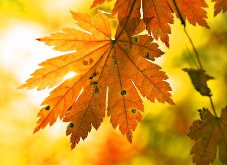 Autumnal maple leaf and sunbeam photo