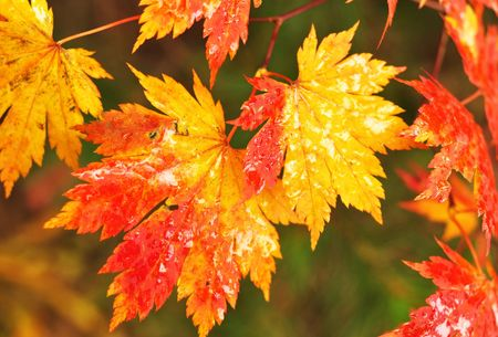 Autumnal maple leaves in blurred background Stock Photo - 8019766