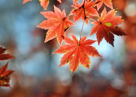 Autumnal maple leaves in blurred background Stock Photo - 8019763