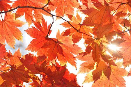 Autumn, sunny maple leaves, autumnal ornament photo