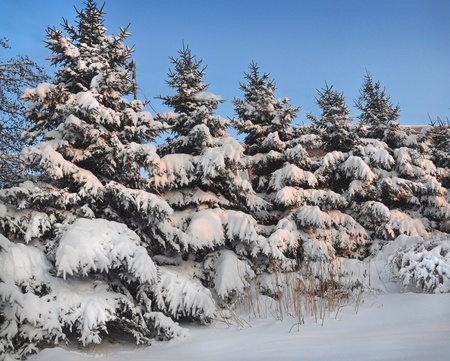 branchy: Row of snowbound firs
