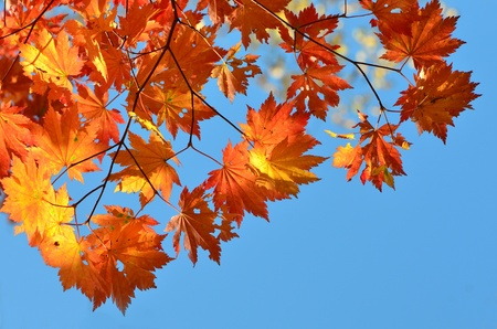 Red and yellow maple leaves against blue sky, golden autumn photo