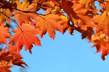 Red maple leaves, autumnal frame, golden autumn photo