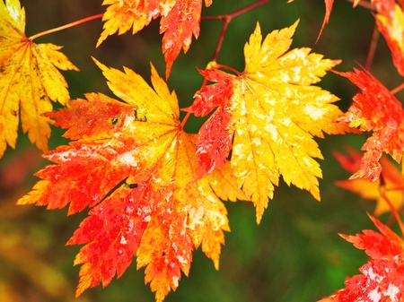 Autumnal maple leaves in blurred background Stock Photo - 14291765