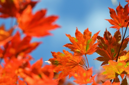 Autumn, maple leaves photo