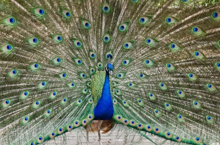 exotism: Peacock with feathers out