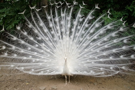 white tail: White peacock with feathers out Stock Photo