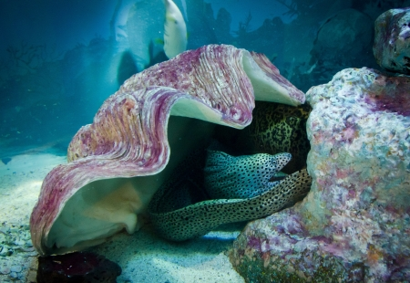 Moray under shell, underwater life photo