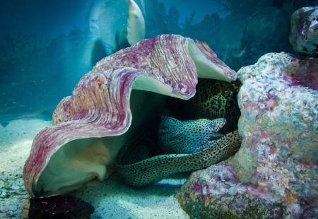 tahiti: Moray under shell, underwater life Stock Photo