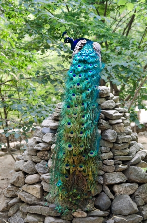 flaunt: Peacock with beautiful multicolored tail sitting on stone