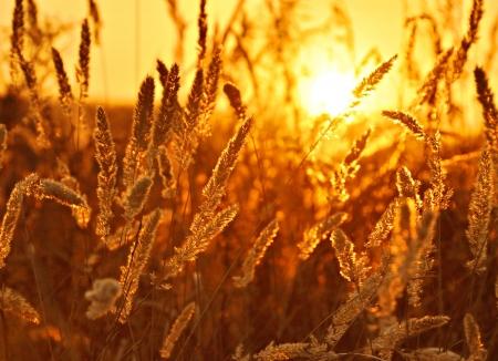 Summer field, sunset, corn feathers, landscape photo