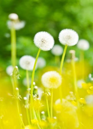 Dandelions, summer flowers, summer scene