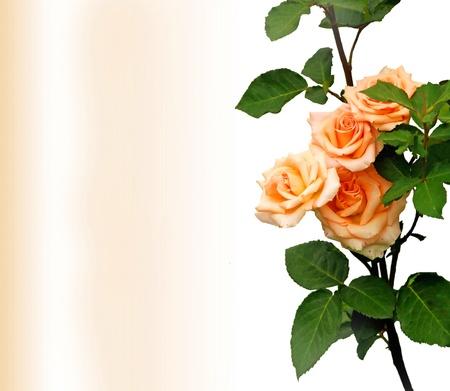 Rosebush, design element - greeting-card Stock Photo - 18839675
