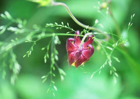 aquilegia: Aquilegia oxysepala, rare flower Stock Photo