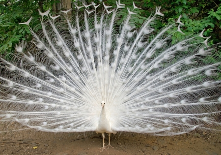 exotism: White peacock with feathers out Stock Photo