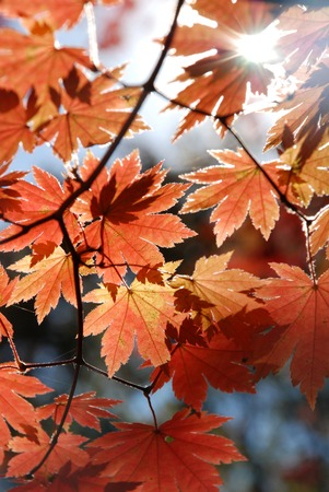 saturated color: Red maple, autumn Stock Photo
