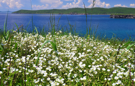 spring landscape: Meadow of white flowers near Japan sea, Primorye, Russia