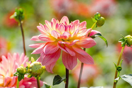 Beautiful flower dahlia, summer scene, macro