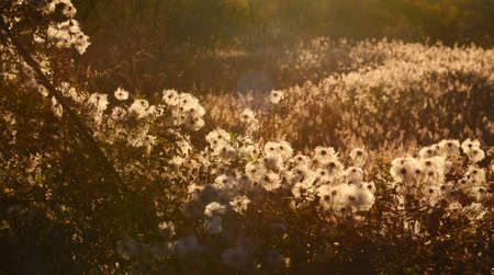 against the sun: Dried flowers, autumn meadow against sun, sunlight