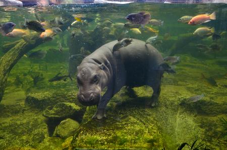 Hippo underwater, pygmy hippopotamus in water through glass, Khao Kheo open zoo, Thailand