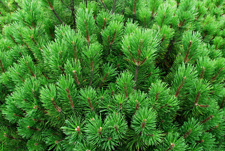 twiggy: Young pines, needles, firs, fir tree