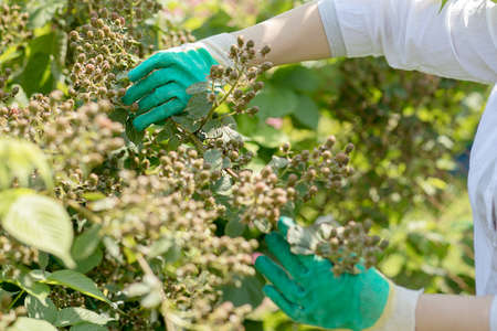 Hands of a man in gloves in the garden take care of plants. Gardening, summer time, harvest. Green unripe berries on branches of BlackBerry bushes.