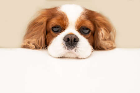 funny fluffy dog cavalier king charles spaniel looks hopefully at the empty copy space for text on a white table. Close-up photo