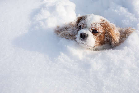 Dog Cavalier King Charles Spaniel covered with snow moving in winter on snow-covered field. Muzzle with snowflakes of animal stuck in snowdrift. Close-up photo, copy space Stockfoto