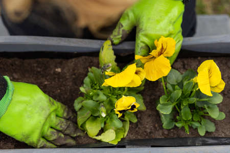 Female hands in garden gloves plant yellow pansy flowers in pot, springtime concept
