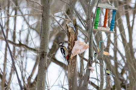 Woodpecker pecking a piece of bacon on the tree stump in woods in winter