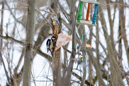 Woodpecker pecking a piece of bacon on the tree stump in woods in winter Stock Photo - 115155668