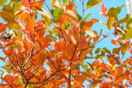 Jesień, Aronia, Promienie słońca w gałęziach