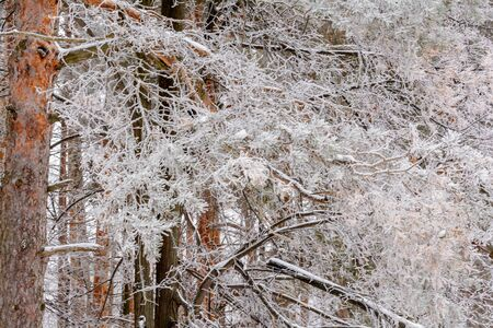 Frozen pine branch under a layer of frost, snow in cold winter