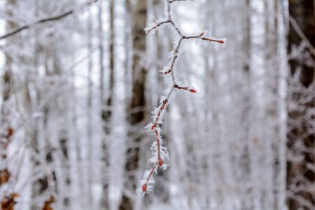 Frozen branch under a layer of frost, snow in cold winter