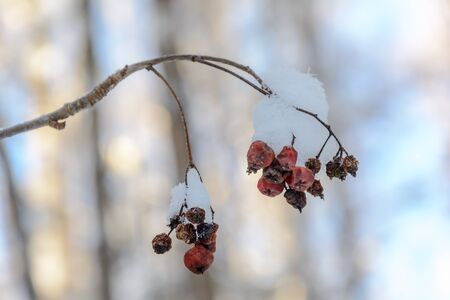Frozen berries under a layer of frost, snow in cold winter