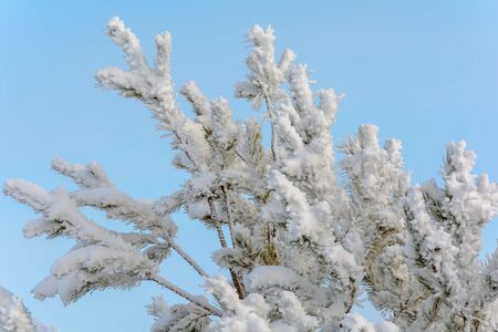 Fir branches covered with a thick layer of snow in cold winter